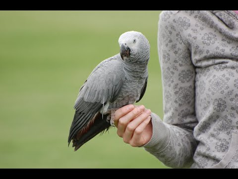 What you should know about African Grey Parrots