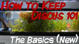 🔥 How to Keep Discus 101   The Basics (New Remake)