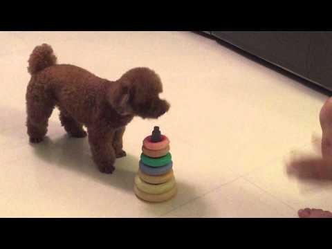 POODLE PERFORMING AMAZING DOG TRICKS - Cookie's debut
