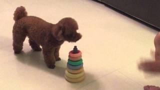 POODLE PERFORMING AMAZING DOG TRICKS  Cookie's debut