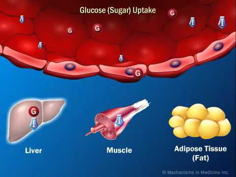 The Role of Insulin in the Human Body 360p