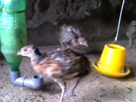chim tri khanh hoa YouTube