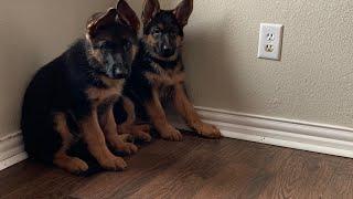 Why German Shepherd Dog is the Best!