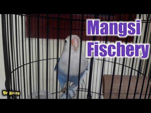 LOVEBIRD BIRU MANGSI FC