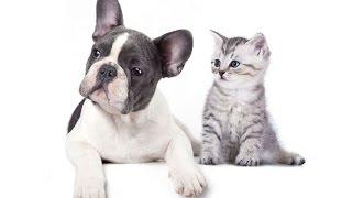 Buldog francuski i kot