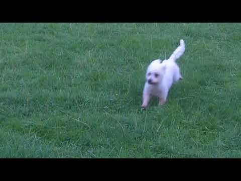 Cairn Terrier  Fab Fergus mooching.