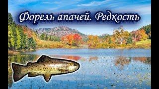 Форель апачей. Русская Рыбалка.