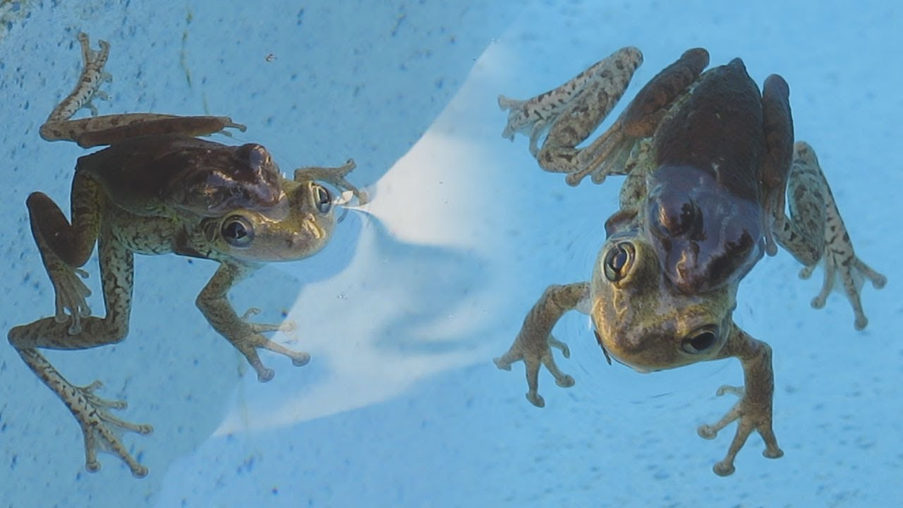 Frogs Mating In My Pool Youtube