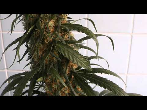 [HD] EDSTHREADS Sweet Black Angel Feminized Marijuana Autopot Grow Flush Harvest