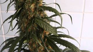 [HD] EDSTHREADS Sweet Black Angel Feminized Marijuana Autopot Grow Flush Harvest