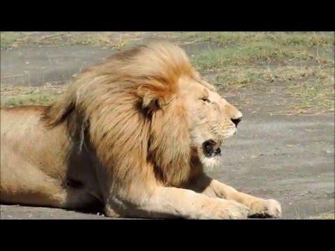 SAFARI IN SERENGETI - TANZANIA-GREAT MIGRATION   HD