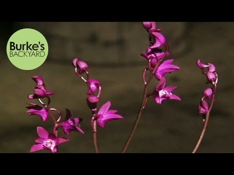 Burke's Backyard, Australian Native Orchids