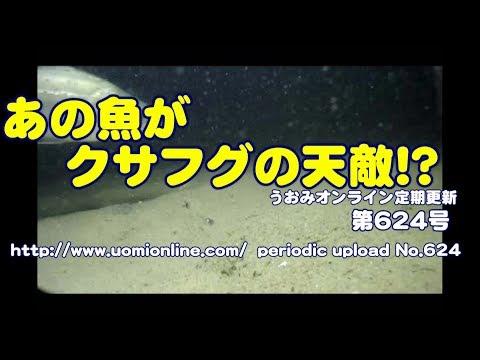 フグの天敵あらわる!【水中動画の定期更新No.624】