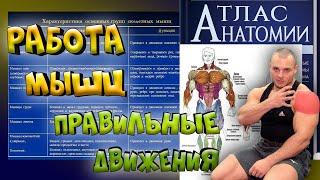 Работа мышц. Анатомия мышц человека. Что нужно знать?