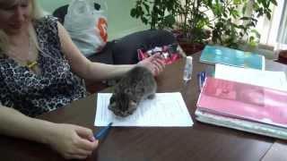 Адам Гордость Шотландии котенок скоттиш-фолд