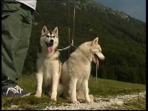 The Siberian Husky And Alaskan Malamute - Pet Dog Documentary English