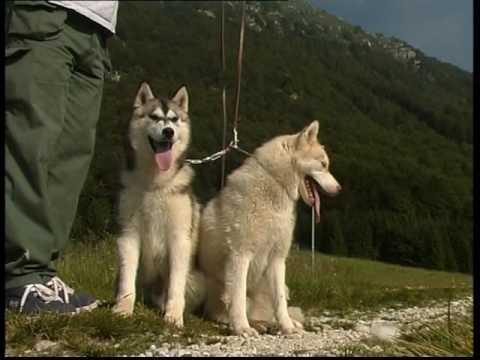 The Siberian Husky And Alaskan Malamute