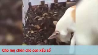 Tình mẫu tử của loài chó- video cảm động về loài chó