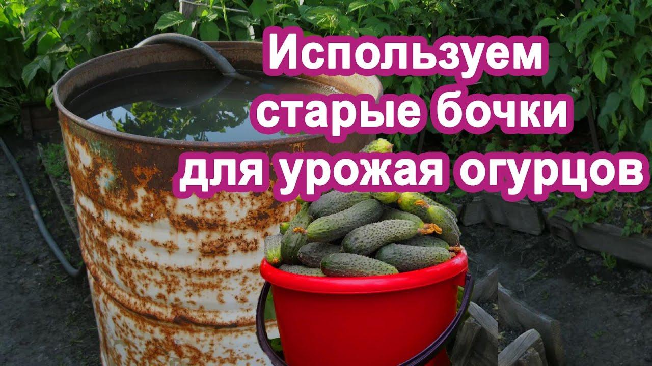 Сажаю Огурцы в бочки, до 14 кг с куста Проверенно Урожай без подкормок.