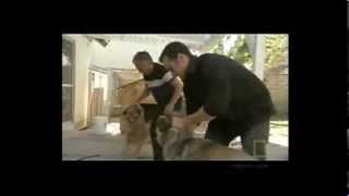 How to handle a Dog fight - Cesar Millan