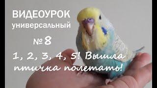 """Учим попугая говорить. Урок 8: """"1, 2, 3, 4, 5! Вышла птичка полетать!"""""""