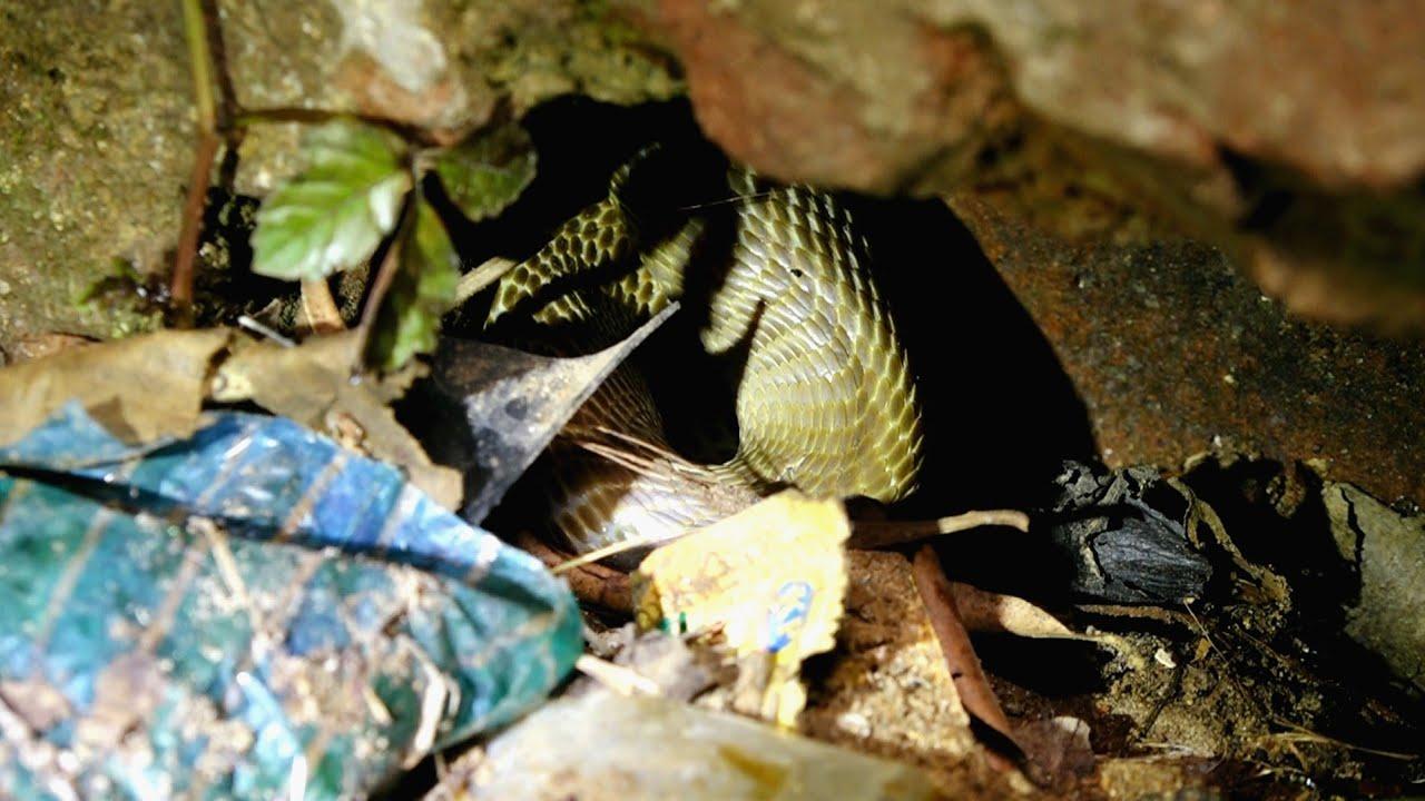 बच्चे के खेलने के जगह देखे कितने चुप चाप बैठा था जहरीला नाग,एक दंश लेलेती जान।Venomous Cobra hidden