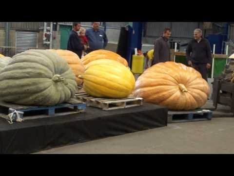 The UK Giant vegetable Pumpkin weigh-off.  Shepton Mallet