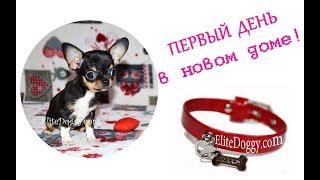 Щенок в новом доме, микро чихуахуа  в г. Киев EliteDoggy