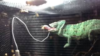 Veiled chameleon catching a cricket in slow motion