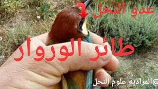 كيفية صيد طائر الوروار،الخضير،الميمون