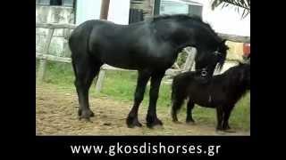 Επιβήτορας friesian παίζει με πόνυ - Stallion plays with pony