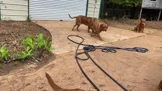 Big French Mastiff(Dogue de Bordeaux) playing in water!