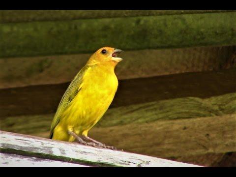 Canto Para Esquentar o Canário da Terra - Gravado ao Vivo na Natureza ✔