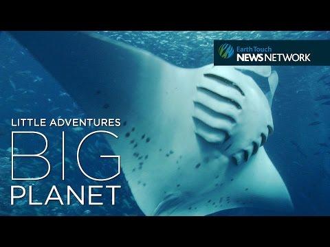 Manta ray SOS: Saving the ocean's gentle giants