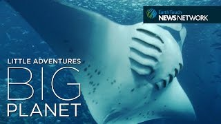 Video Manta ray SOS: Saving the ocean's gentle giants download MP3, 3GP, MP4, WEBM, AVI, FLV Oktober 2018