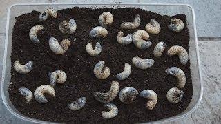 カブトムシの飼育。 カブトムシの幼虫の発酵マットの交換をしました。 m...