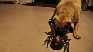 Pug vs Spider