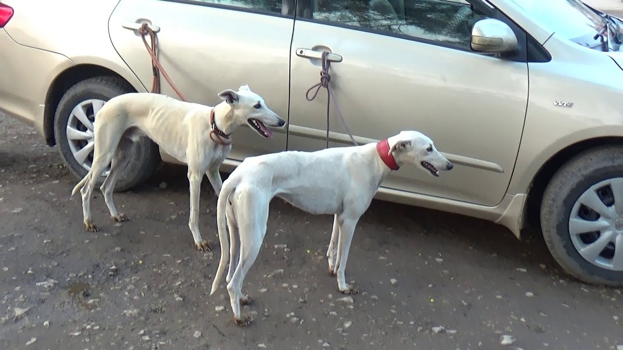Hunting Dogs In Pakistan Hound Dog Working Dogs Racing Dog Youtube