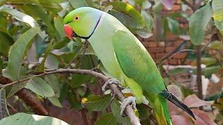 Talking Parrot Mithu!