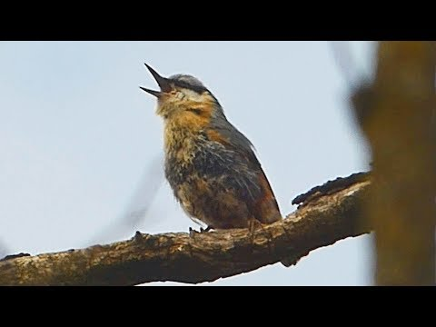 Brhlík lesní - The Eurasian nuthatch (Sitta europea) - Zpěv/Song