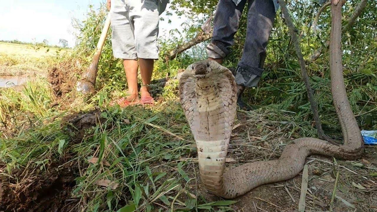 Bắt Được Con Rắn Hổ Mang Vàng Lai Bạch Tạng (Hunting Snakes)