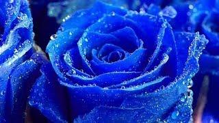 Вся правда о голубых розах