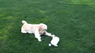 Cute Poodle Mixes :)