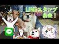 柴犬小春 LINEスタンプ第3弾&グッズ発売開始しました!!3rd Edition Koharu LINE Stickers & Merchandise on sale now!