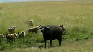 hyenas kill baby cape buffalo seriously hard to watch