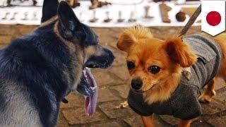 散歩していた犬のチワワが、シェパードに突進されて死んだとして、堺市...