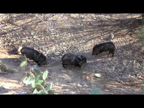 Javelina Fight in Yard Tucson , AZ