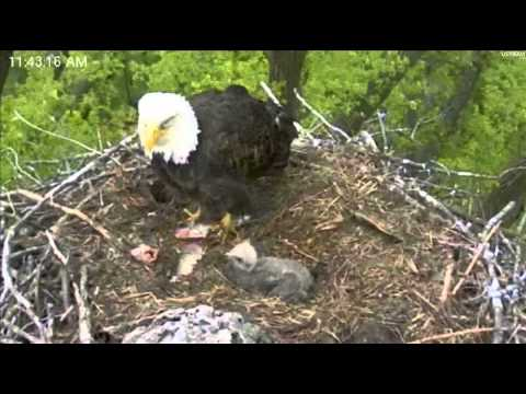 Minnesota Eaglet Gets a GREAT Lunch full Crop. 5/1/2012
