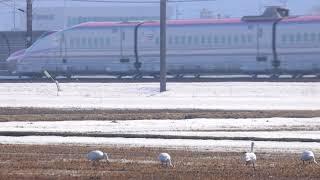 しろい鳥と 秋田新幹線 在来線走行 201903_a