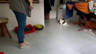 3 months Shih tzu Puppy Tricks